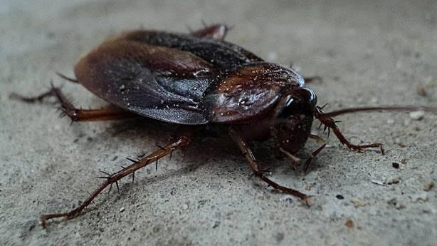 hamam böceği, hamam böcekleri nasıldır, hamam böceklerini yakından tanıyın